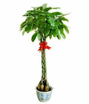 fortune tree - plants to China
