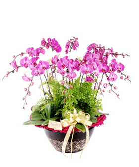 Moth Orchid - Plants to China