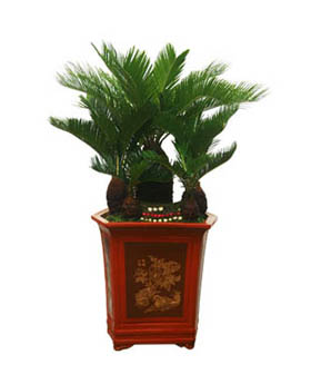 Dracaena Fragrans - Plants to China