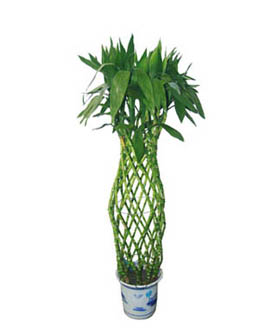 Sanders Dracaena - Plants to China