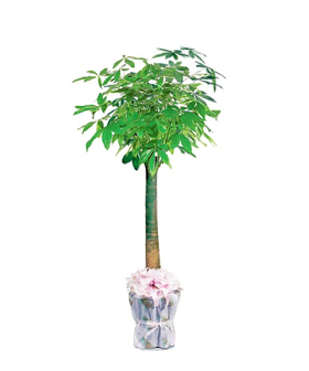 Money Tree - Plant to China